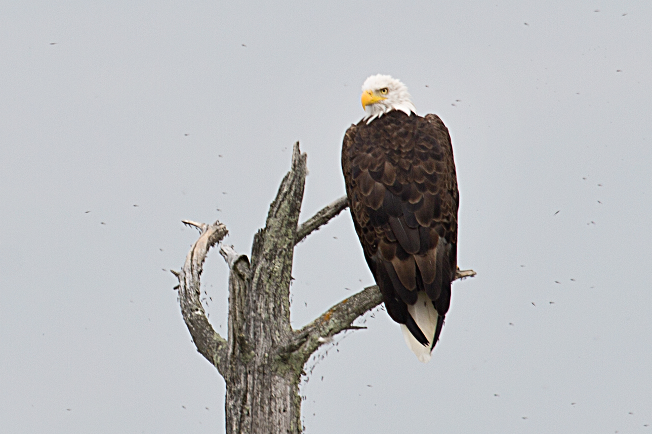 A Bald Eagle oversees its domain in Voyageurs National Park