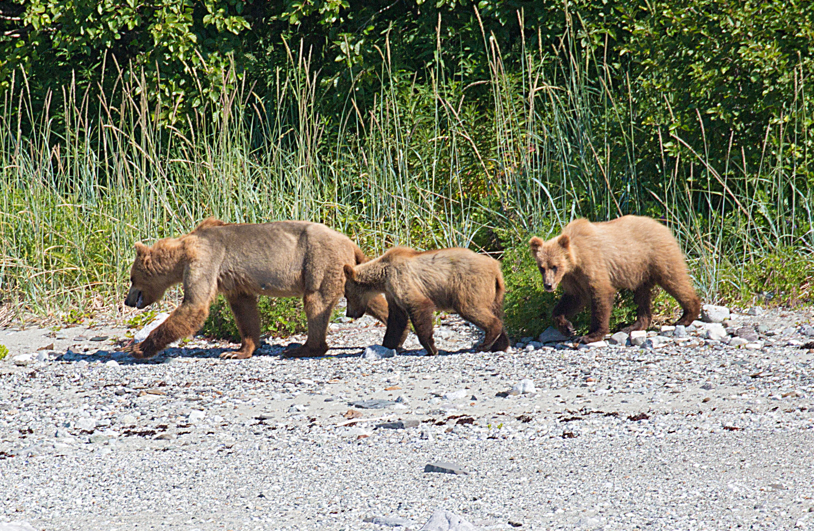 Grizzly Bears in Glacier Bay National Park