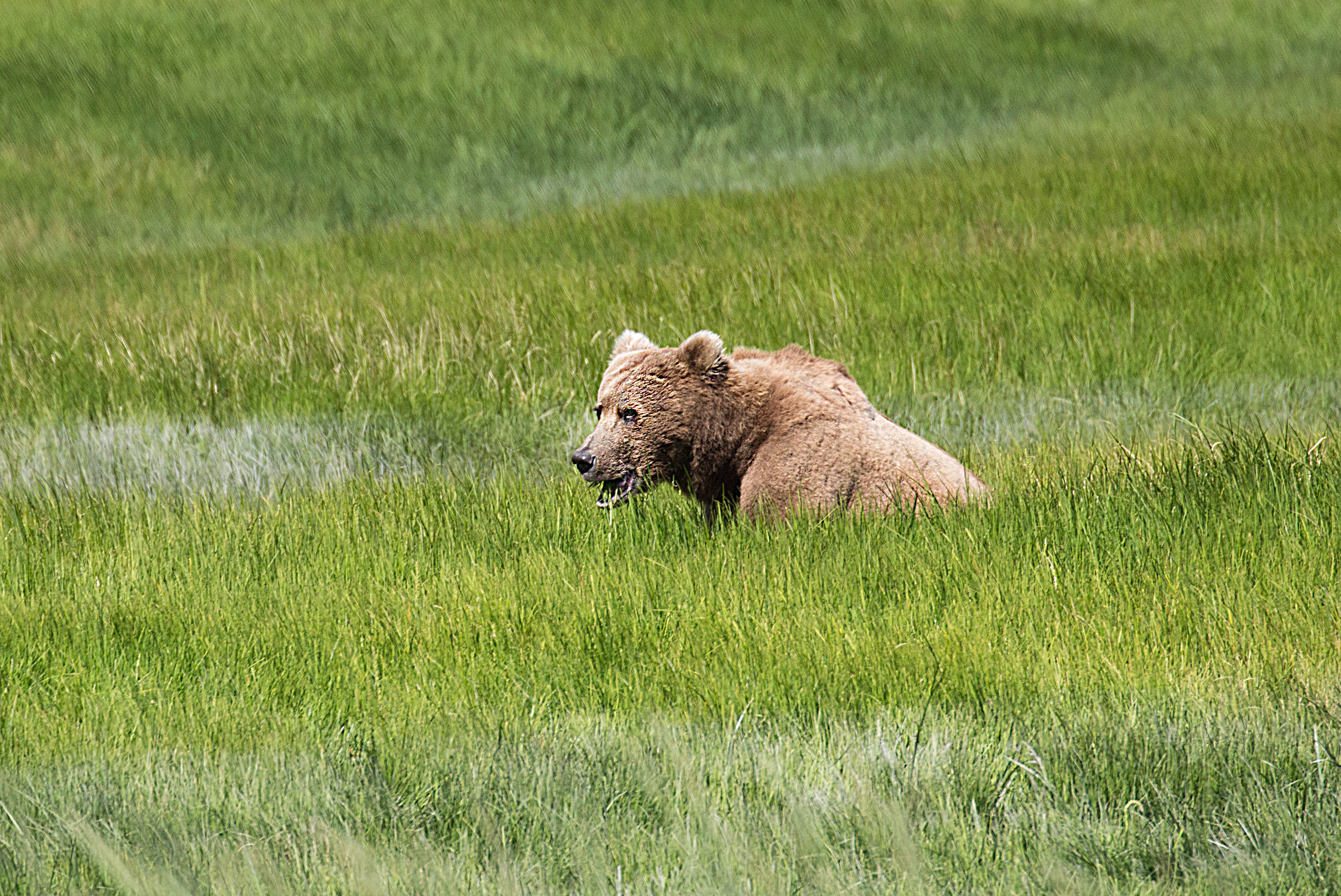 Grizzly Bear in Lake Clark