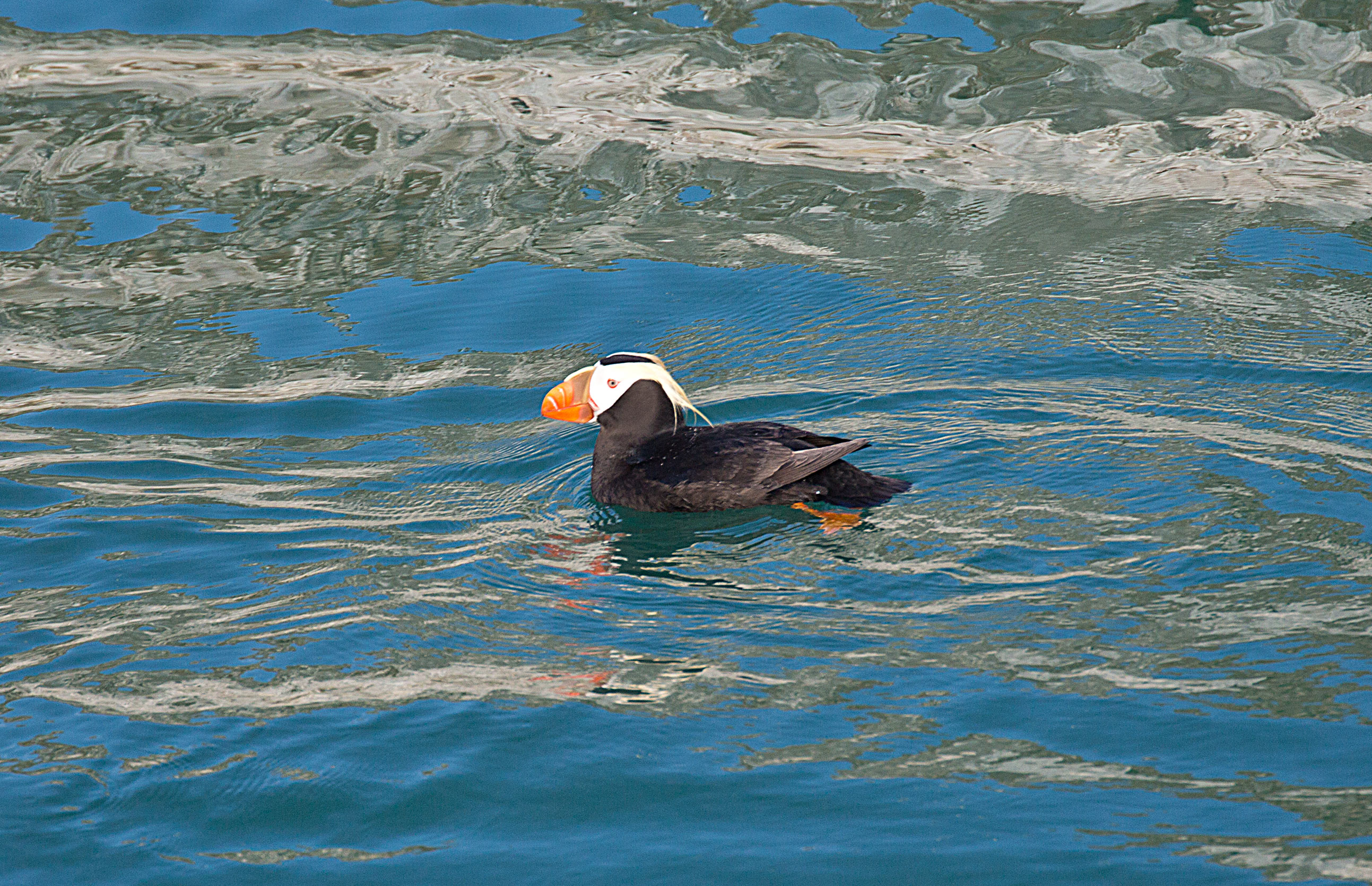 A Puffin floats on by