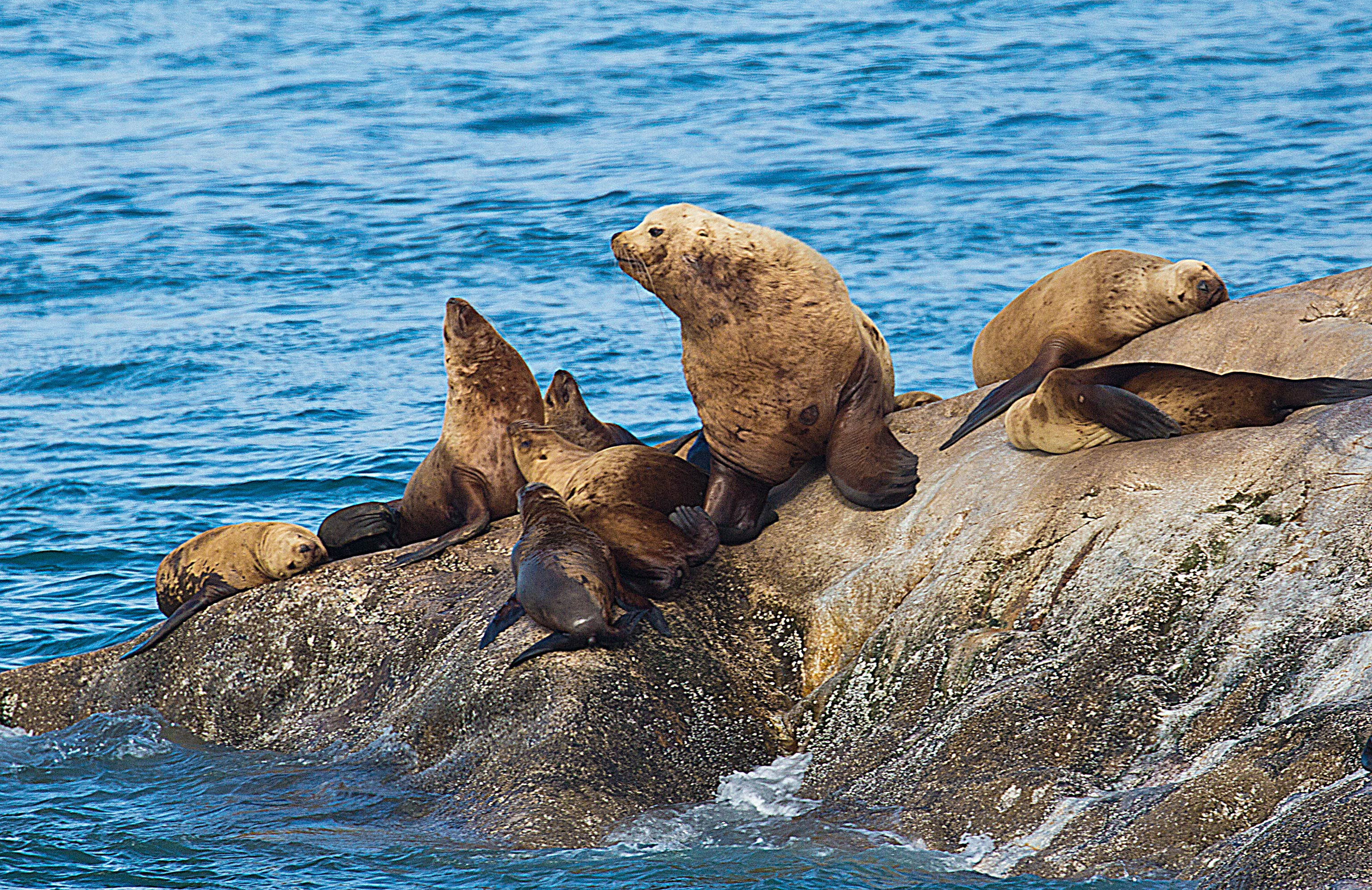 The local Sealions