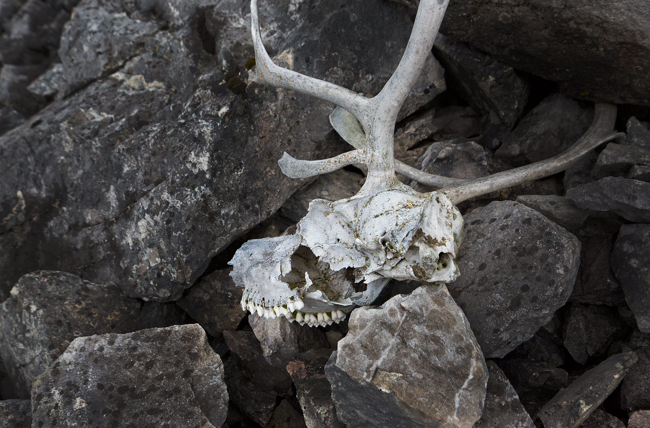 Caribou Skull Gates of the Arctic