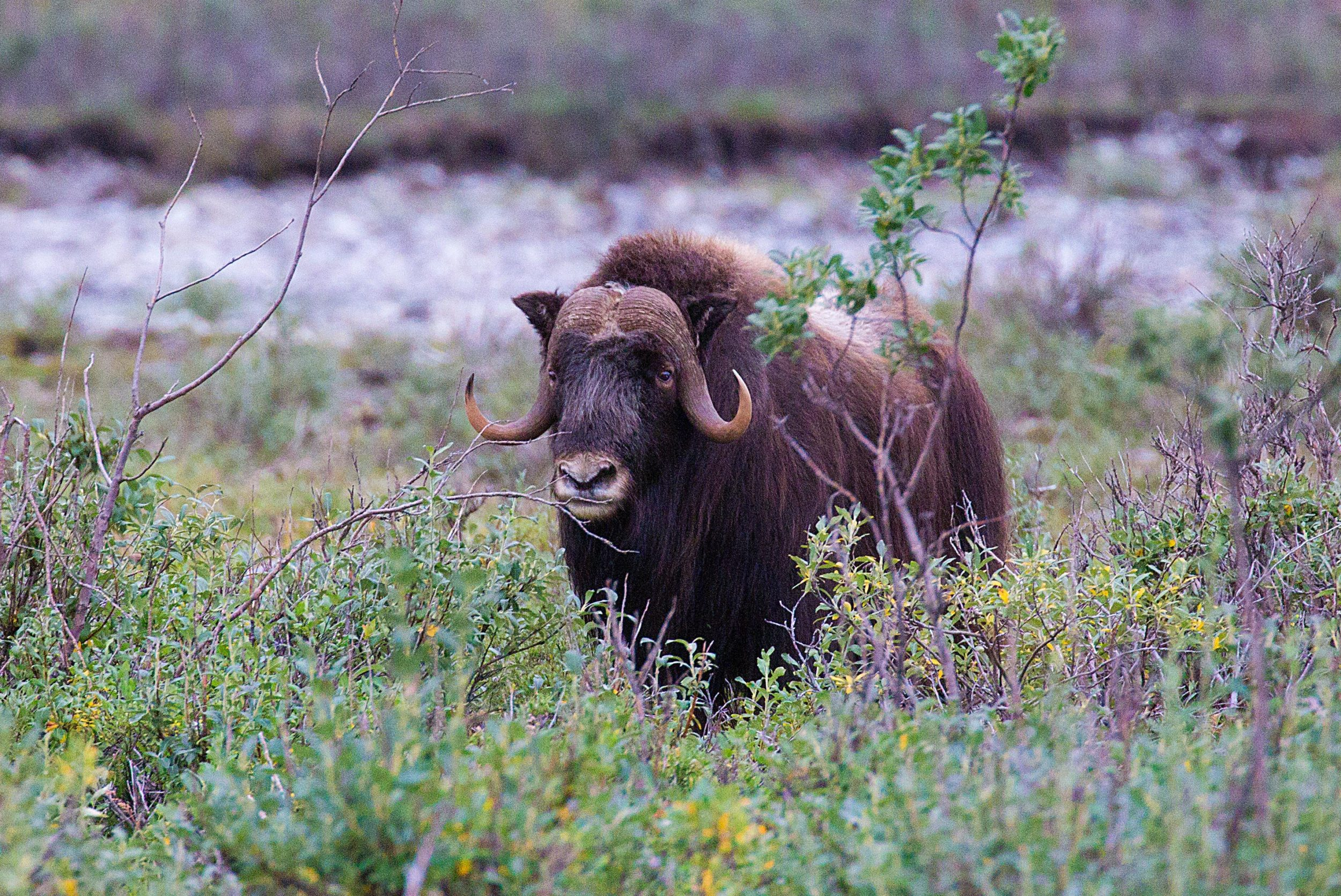 A Muskox in Gates of the Arctic National Park